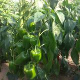 Hybrid sweet pepper seeds vegetable seeds No.08