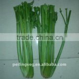 Chinese fresh green celery (New crop)