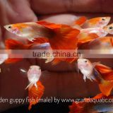 INQUIRY ABOUT Golden guppy for Freshwater Aquarium fish export company from Thailand