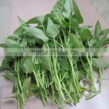 MWS01 Baijin big leaf high yield water spinach seeds for sales