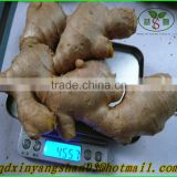 Sell Chinese Mature Ginger Root Specification Fresh/Dried In Wholesale Price
