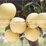 wholesale price fresh snow pear