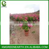 Bougainvillea spectabilis small bonsai