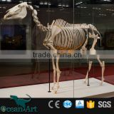 Artificial life size resin fiberglass horse skeleton