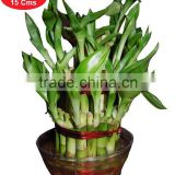 Buy Lucky Bamboo Plant online in India - 3 layer bamboo Plant