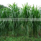 Fodder grass seeds Pennisetum hydridum grass seeds for growing-Hot sale