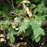 Adenanthera pavonina Seeds ,Red Sandalwood, Bead Tree, Red Wood, Peacock Tree Seeds Marathi - Rakta Chandana, Hindi - Barigumchi