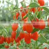 Growing Best Goji Berry Seeds Goji Berries Seeds Wolfberry Seeds For Planting