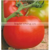 Hot Sale Chinese Hybrid F1 Hot And Moisture Resistance Big Red Tomato Seeds For Planting-Sky Handsome