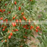 Chinese Matrimony vine ,Barbary wolfberry, Premium Grade Dried Goji berries Chinese Wolfberry nutrition
