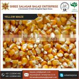 Reputed Exporter Supplying Delicious Yellow Maize For Human Consumption