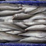 Whole sale frozen hake HGT gutted headless fish
