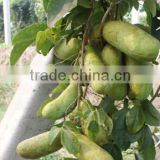 High Quality Rare Fruit Tree Seeds For Planting Holboellia latifolia Wall Seeds