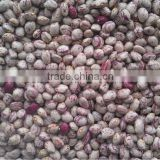 Light Speckled Kidney Beans, Xinjiang origin