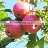 High quality fresh apple fruit fresh Qinguan apple