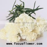 Wholesale tropical carnation flowers anthurium flowers snow white with 20stems/bundle from rolane
