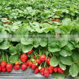 fresh Organic dried fruit Strawberry Extract