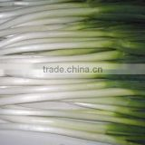 2013 Fresh Welsh Onion for Sales