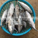 Frozen fish frozen frigate tuna bonito tuna for market