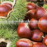 Good price fresh chestnut for sale in dandong with chinese chestnuts wholesale. Eating chinese chestnuts!