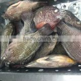 W/R Frozen Block Tilapia Fish With Perfect Quality On Sale