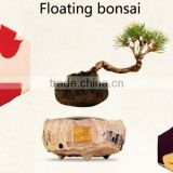 Natural live magnolia bonsai tree sale for aquarium bonsai