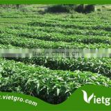 High Yield Kang kong Water Spinach Seeds For Growing VGKK 023/ Tropical Vegetable seeds