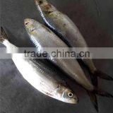 Frozen sardine fish Sardinella longiceps from pacific ocean