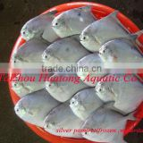 high quality delicious fresh silver pomfret fish