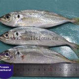 Frozen Horse Mackerel Whole Round