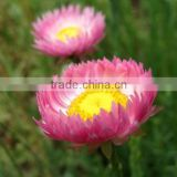 Mangles sun-ray, Helipterum, flower seeds , herb seed,vegetalbe seed,fruit seed,grass seed