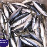 Ocean Fish Pacific Mackerel Chub Mackerel Whole Round
