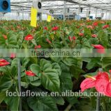 natural large bud size Anthurium type hobby lobby wholesale flowers for wedding