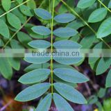 Senna Leaf Extract Powder/ Folium Sennae Extract/Casia Angustifolia Leaf Extract/Sennosides 6%~20%