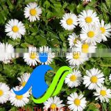 Chamomile Extract powder bulk in supply