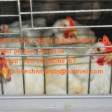 Saudi Arabia Poultry Farming Hot Galvanized Cage & Automatic Broiler Cage & Chicken Cage with Feeding & Drinking System for Farming