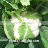 2014 F1 hybrid cauliflower seeds SXCa No.1