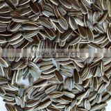Sell 2016 long striped black bulk organic hybrid sunflower seeds