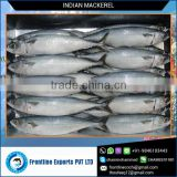 Whole Round IQF Frozen Pacific Mackerel Fish Supplier