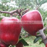 2015 New crop New season Huaniu apple Fresh apple China Gansu Tianshui Huaniu apple