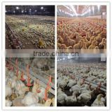Commercial Chicken House Automatic Poultry Feeding and Drinking System Equipment For Farming Broiler Birds