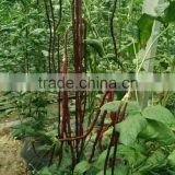 High Quality Chinese vegetable seeds Purple Long Bean Seeds Cowpea Seeds Yard Long Bean Seeds For Cultivation-9802