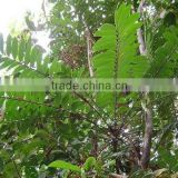 water soluble TongkatAli Extract 100:1/acacia rigidula extract for sexual enhancement (CAS No.84633-29-4)