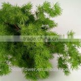Perfect Decorative Cut Leaf Natural Plant Asparagus For Lobby Wholesale Flowers With High Quality From Yunnan