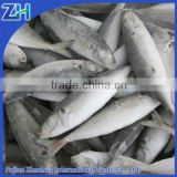 Frozen whole round scad, blue scad canning factory fish