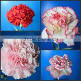 Fresh cut flowers <b>Yunnan</b> carnation