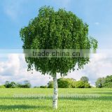 Factory Supply Birch bark extract,Betulin 98%,Betula alba Extract