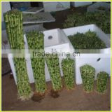 DRACAENA SANDERIANA 10cm-80cm straight lucky bamboo bonsai hot sale in USA market indoor ornamental water aquatic plants