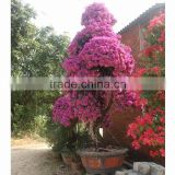 Bougainvillea for cottage plant