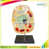 Animal Cell Anatomical Biological Model Teaching Aids